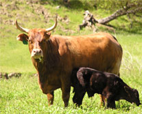 Brindle horned cow and black calf