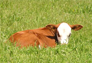 photo of a red and white calf